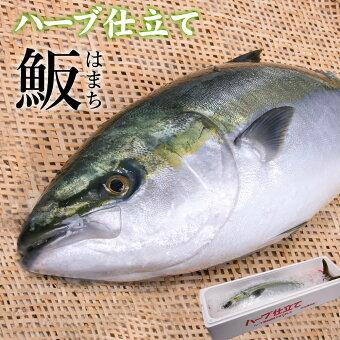 ハーブ仕立てハマチラウンド約3kg×1本宅配便送料無料/出世魚出世祝い就職祝い歓迎会海の幸活き〆贈答ギフト産地直送