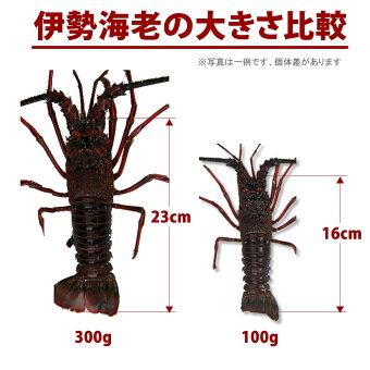 伊勢海老の大きさ比較(100g〜300g)
