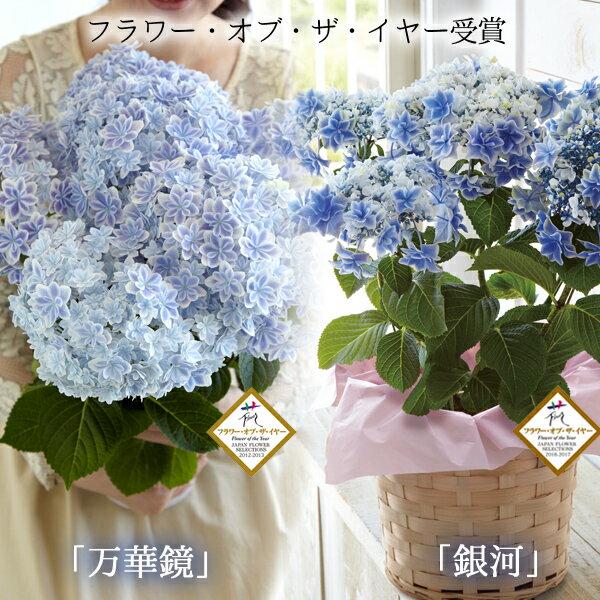 母の日ギフト 島根県産 高鮮度のあじさい鉢植え 選べる2品種(「万華鏡」「銀河」) 送料無料