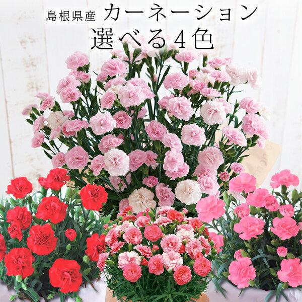 母の日ギフト 島根県産 カーネーション鉢植え 選べる4色 送料無料