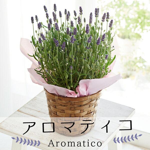母の日ギフト 島根県産 ラベンダー「アロマティコ」 鉢植え 送料無料