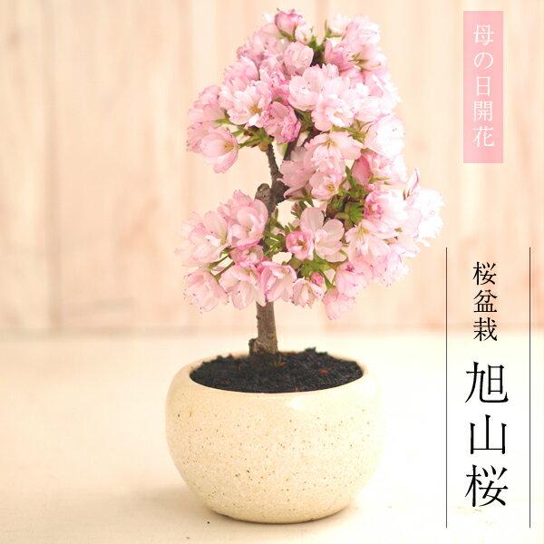 母の日ギフト 桜盆栽(旭山桜) 瀬戸焼鉢入り 送料無料