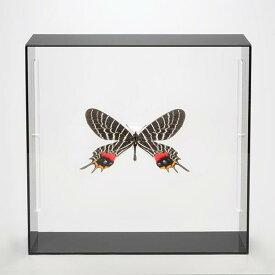 蝶の標本コレクション!シボリアゲハ