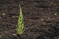 【純国産の福岡県産100%】完全無農薬・無肥料の自然栽培【高原のスギナ茶】すぎな茶葉20g♪♪【ホーステール】【健康茶】【ノンカフェイン】05P03Dec16