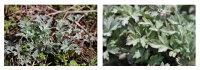 【純国産の福岡県産100%】最高級ヨモギ茶完全無農薬・無肥料の自然栽培【高原のよもぎ茶】蓬茶20g♪♪【よもぎ/ヨモギ/よもぎ蒸し/新芽よもぎ/健康茶/お茶】【ノンカフェイン】05P03Dec16