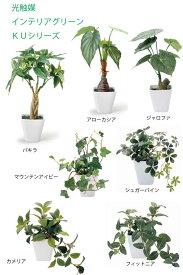 10P03Dec16   送料無料 人工観葉植物光触媒グリーンKUシリーズパキラカメリヤアローカシアジャロファ シュガーパインフィットニアマウンテンアイビー