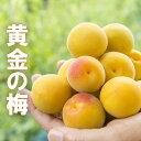 ≪予約承り中≫黄金の梅(本物の完熟梅) 3kg 送料無料 (クール便送料込) 希少な樹上完熟梅です。本物の完熟梅は樹か…