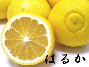 愛媛産 はるか 良品 10キロ 【送料無料】 【はるか】酸味が少ない低刺激で甘みも淡白。つぶつぶとした食感の柑橘 【愛媛みかん 蜜柑 ミカン】はるか ニューサマーオレンジ(日向夏 小夏)