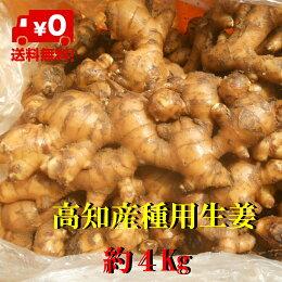 【送料無料】高知産囲い生姜土つき(種、食用)16Kgただし北海道沖縄は送料500円のご負担お願いします。