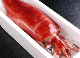 秋SALEポイント10倍!ムキ身3kg ギフトにも【指定日OK 国内加工 兵庫県津居山港産】漁師の一本釣!調理済赤いか[通常約1kg→合計3kgに] アカイカ 赤イカ 赤いか イカ いか そでいか ソデイカ