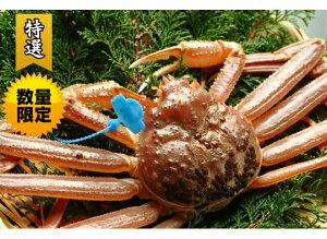 早期予約【ギフト 送料無料 津居山港産】超希少!活松葉がに 特大(1.3kg以上サイズ) 活松葉ガニ 松葉がに 津居山ガニ まつばがに 松葉カニ 松葉ガニ 日本海 松葉蟹 未冷凍 かに ずわいがに