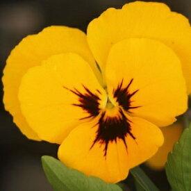 よく咲くスミレ マロン3苗
