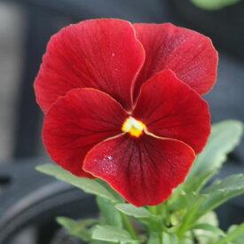 よく咲くスミレ クランベリー3苗
