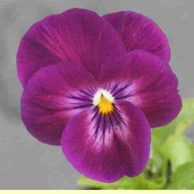 よく咲くスミレ カシス 3苗