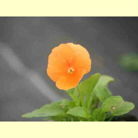よく咲くスミレ マーマレード3苗