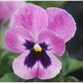 よく咲くスミレ ラズベリー3苗
