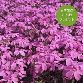 高品質 芝桜 オータムローズ(桃色の花)40株セット 3号 9センチポット