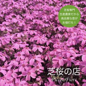 芝桜 (シバザクラ) オータムローズ (桃色の花) 10株セット 3号 9センチポット レビューを書いて芝桜に良い特典あり! 芝桜専門店なので 高品質 最安値! 春 秋 ガーデニング ピンク グラ