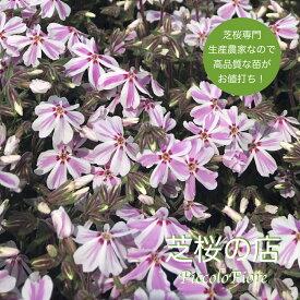 芝桜 キャンディストライプ(多摩の流れ) 10株セット 3号 9センチポット 芝桜 ピンク 白 ストライプ 苗 花苗 春 秋