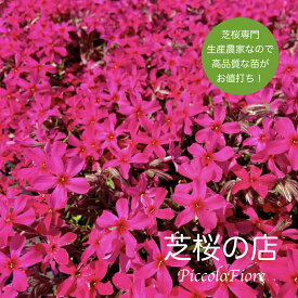 芝桜 スカーレットフレイム(赤い花) 30株セット 送料無料!(沖縄県・離島は別途必要になります) 9センチ3号ポット レビューを書いて、芝桜に良い特典あり! 芝桜専門店なので高品質!最安値! 春 秋 ガーデニング 植え付け 植栽 適期