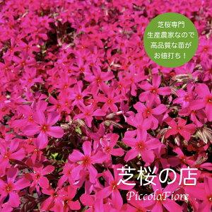 芝桜 スカーレットフレイム(赤い花)40株セット 9センチ3号ポット レビューを書いて、芝桜に良い特典あり!高品質 最安値 秋 ガーデニング 植え付け 植栽 適期