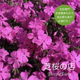 芝桜 (シバザクラ)ダニエルクッション 30株 送料無料!(沖縄県・離島は別途必要) 9cm3号ポット 鮮やかなピンクの花 レビューを書いて芝桜に良い特典あり!芝桜専門店なので高品質 最安値!ガーデニング 植え付け 植栽 適期