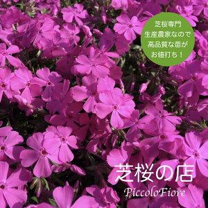 芝桜 (シバザクラ)ダニエルクッション 40株(鮮やかなピンクの花) 9センチ3号ポット 芝桜専門店なので高品質 最安値! レビューを書いて芝桜に良い特典あり! 春 ガーデニング 植え付け