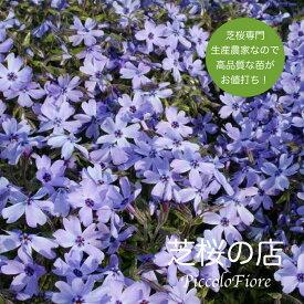 芝桜 オーキントンブルーアイ(青花) 10株セット 3号 9センチポット