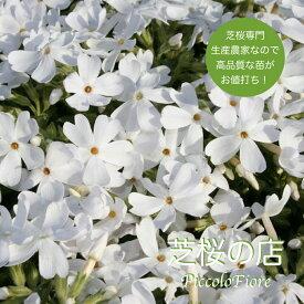 芝桜 モンブランホワイト(純白の花) 10株 3号9センチポット