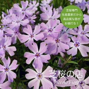 芝桜 (シバザクラ) エメラルドクッションブルー(青紫)30株セット 送料無料(沖縄県・離島は別途必要になります ) 3号 9センチポット レビューを書いて芝桜に良い特典あり! 芝桜専門店