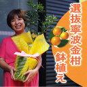【ご自宅・贈り物に】選抜寧波金柑の鉢植え7号鉢(樹高 0.7m内外)
