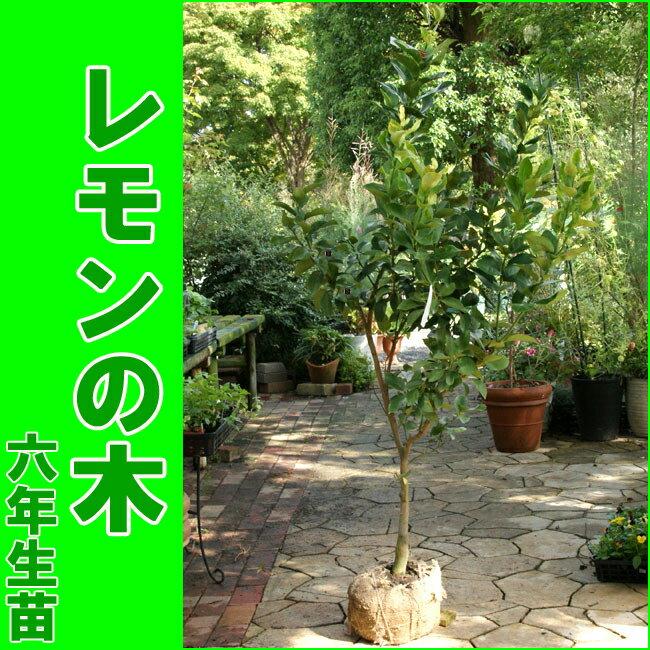 """【販売開始しました】トゲなしレモンの木""""ビアフランカ""""(樹高:1.0〜1.2m内外)[6年生苗・大苗]"""