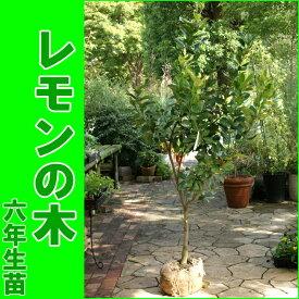 【送料無料】レモンの木/檸檬/れもん(樹高:1.2m内外)[6年生大苗]