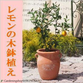 【数量限定】【送料無料】レモンの木鉢植え/檸檬人気のつぼ型鉢