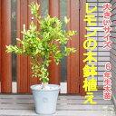 レモンの木/檸檬/れもん鉢植え(全体の高さ:1.5m内外)2018.7月撮影