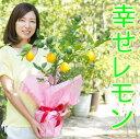 【送料無料】【幸せレモンの木】四季の里 レモンの木 果樹苗 庭木 鉢苗 植木 苗木 苗 シンボルツリー 常緑 常緑樹 実…