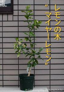 【送料無料】【ギフト・ご自宅】レモンの木鉢植え(マイヤーレモン)レモン/檸檬高さ:0.9m内外