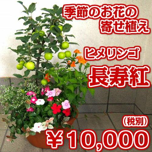 [敬老の日ギフト]【ご自宅・ギフトに最適】実付き長寿紅(ヒメリンゴ/姫林檎/姫りんご)の寄せ植え