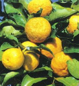 柑橘類 花柚子(一才ゆず・トゲ無しゆず)(はなゆず) 2年生苗
