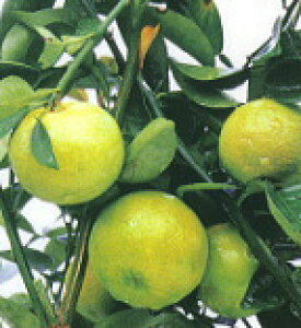 柑橘類 小核系スダチ(しょうかくけいすだち) 2年生苗