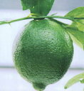柑橘類 タヒチライム 2年生苗