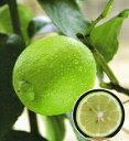 大人気果樹苗【販売開始】柑橘類  ベルガモット(バロチン) 2年生苗