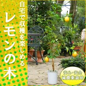 【送料無料】『小さな実の赤ちゃん付き』◆数量限定大きめサイズ◆レモンの木(樹高:1.0m内外)【マイヤーレモン】【収穫を楽しむ 苗木 苗】【新築祝・記念樹・庭植え】