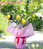 The fruits can be harvested in the winter! With fruit! Lemon tree