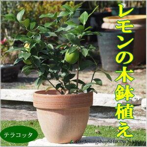 【送料無料】当店人気!レモンの木鉢植え(テラコッタ)