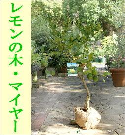 『数量限定』 レモンの木/檸檬/れもん(樹高:1〜1.2m内外)【マイヤー・リスボン】【収穫を楽しむ 苗木 苗】【新築祝・記念樹・庭植え】
