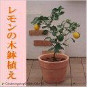 レモンの木鉢植え/レモン/檸檬(テラコッタ)