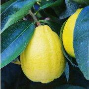 柑橘類_とげ無しレモン