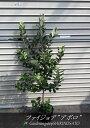 [1本で実がなる品種]フェイジョア(アポロ/プリティーグリーン)樹高:0.9〜1m内外