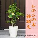 【送料無料】【ギフト・ご自宅】レモンの木鉢植え(白プラ鉢)レモン/檸檬高さ:0.8m内外
